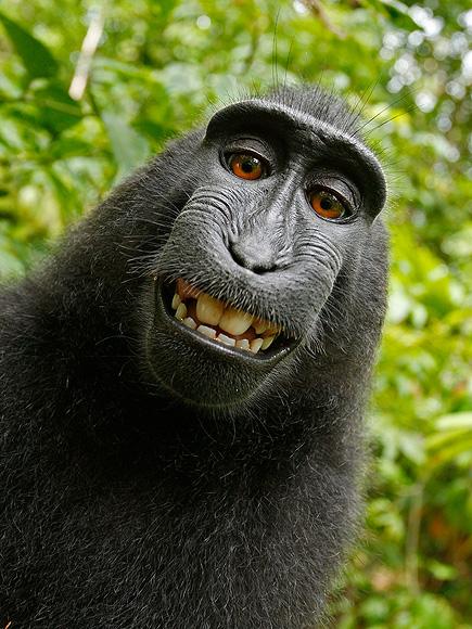 Monkey Selfie Sparks Copyright Dispute with Wikimedia