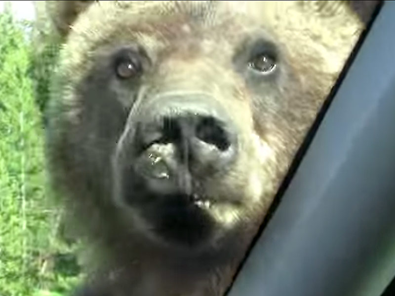 Second Grizzly Bear Captured in Yellowstone National Park