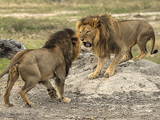 Cecil The Lion's Brother Jericho Reportedly Killed in Zimbabwe by an Illegal Hunter