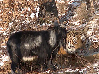 Zoo Tiger Befriends Goat Meant to Be His Dinner
