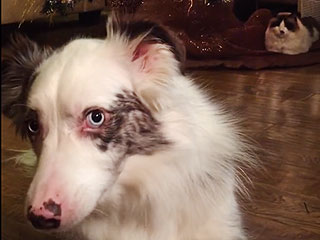 Canine Scrooge Tells You Exactly Why He's Mad at the Christmas Tree (VIDEO)