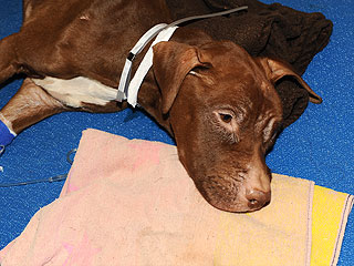 Anonymous Donor Offers $20,000 to Find the Person Who Stuffed a Starving Pit Bull in a Suitcase