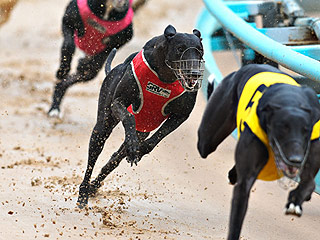 Over 50 Greyhounds Found Dead in Australia, Officials Looking into Racing Connections