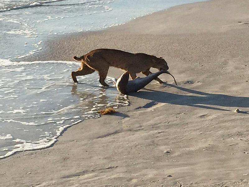 Bobcat catches shark in florida ocean for Vero beach fishing report
