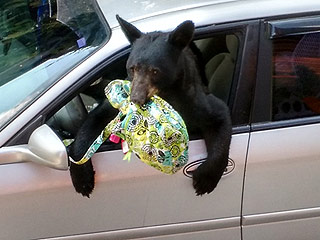 Is That A Picnic Basket? Hungry Bear Breaks into Tennessee Woman's Car, Steals Her Lunch
