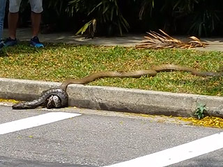 Cobra and Python Viciously Hug It Out in Singapore