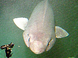 Rare 'Sofa Shark' Caught Off Scottish Coast, Teased by Journalists (PHOTO)