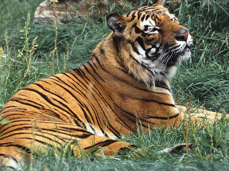 Palm Beach Zookeeper Killed by Malayan Tiger