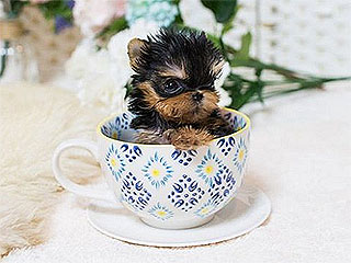 From INSTANT: WATCH: These Teacup Puppies Will Melt Your Heart