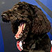 Dogs Help Calm Athletes at Nail-Biting U.S. Olympic Swimming Trials