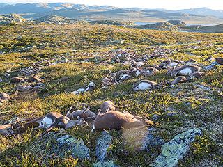 Over 300 Reindeer Killed by Lightning in Norway