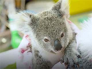 Baby Koala Clings to Stuffed Animal for Love After His Mother Dies