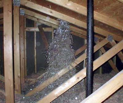 gigantic nest found in attic
