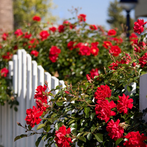 red roses climbing a white fence