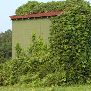invasive kudzu growing over a barn in rural setting