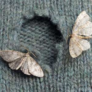 two moths with a hole in a sweater