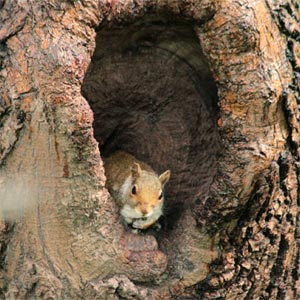 a squirrel looks out of a tree trunk hole