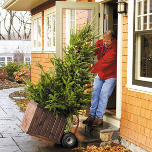 Roger Cook brings the live tree inside the house