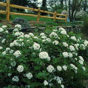 Top 15 Shrubs