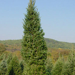 baalled tree - a choice for live christmas tree