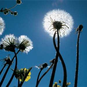 dandelions weeds