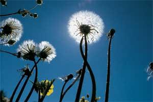 Dandelion (weed wars)