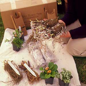 planting bare-root plants