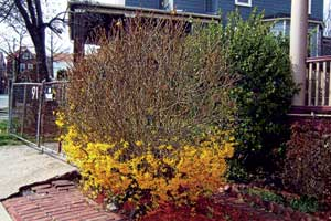 Forsythia in Winter