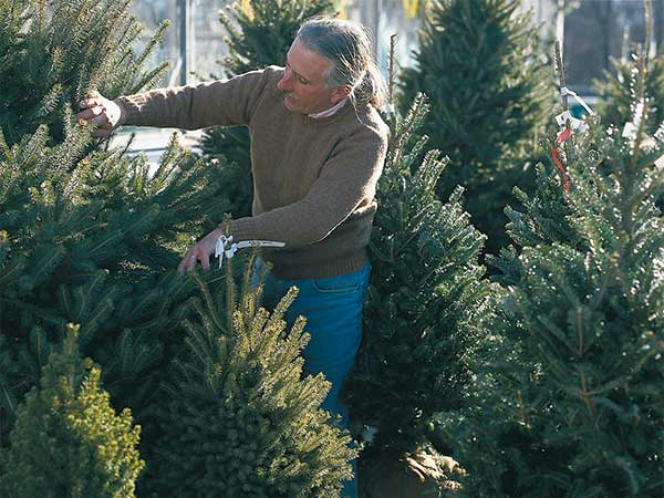 a person pulls apart the branches of an evergreen tree in a lot with many other evergreen trees of various sizes