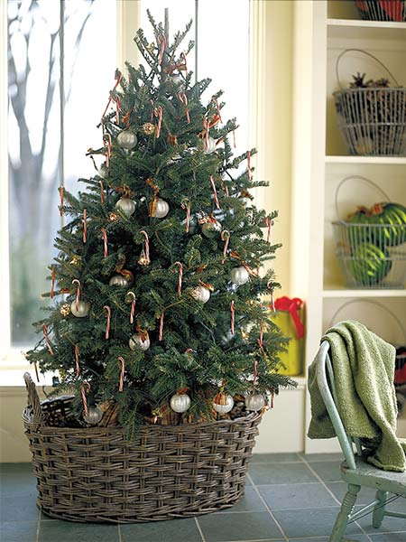 Caring For A Living Christmas Tree Plant A Living