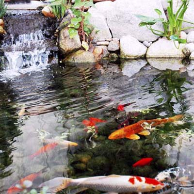 Koi fish pond with small waterfall