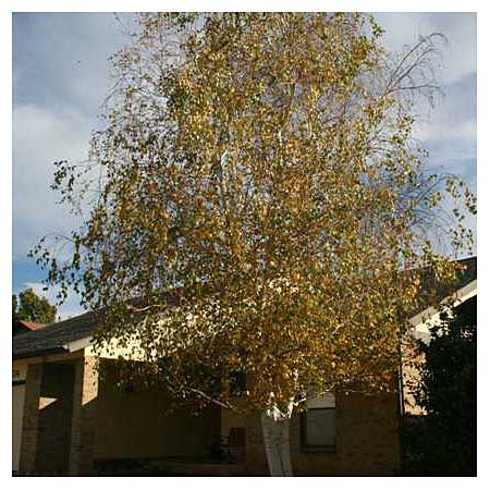 a birch tree that is perfect for far-northern climates