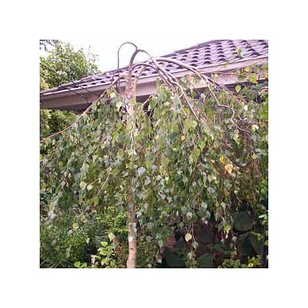 Weeping birch betula pendula trees for small yards for Small trees for small yards