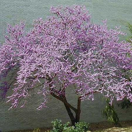 the rosy-magenta, compact redbud tolerates cold winters and warm summers