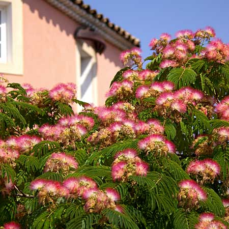 a pink-flowering mimosa tree loves hot and dry weather with free-draining soil