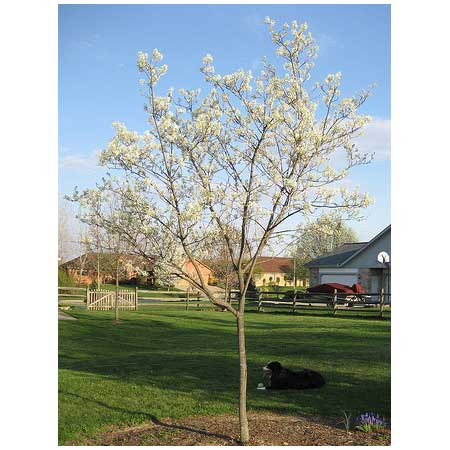Serviceberry amelanchier arborea trees for small yards for Small trees for small yards