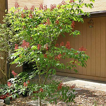 The red buckeye is a small-scale relative of the giant horse chestnut