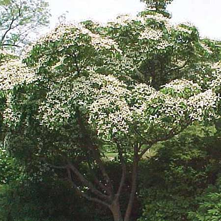 Kousa dogwood cornus kousa var chinensis trees for for Small trees for small yards