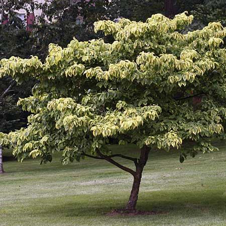 the dogwood tree is exceptionally shade tolerant