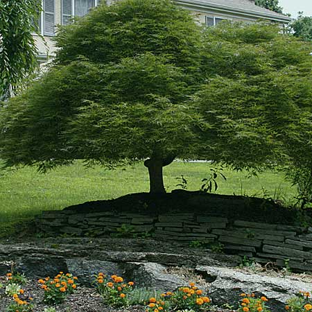 Japanese maples come hundreds of varieties that grow no larger than a standard shrub