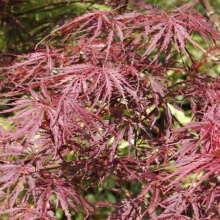 the dark-leafed ever red laceleaf Japanese maple is popular for its autumn colors