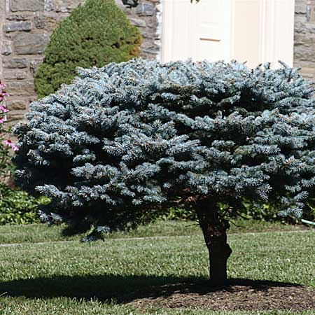 Globe blue spruce picea pungens 39 globosa 39 trees for for Trees that stay small