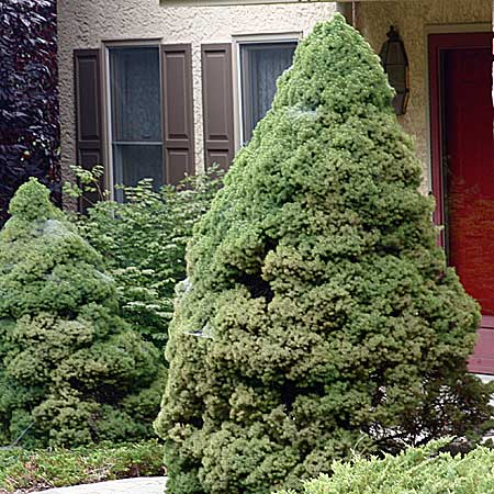 the dwarf Alberta spruce's pyramidal form enhances the garden's geometry