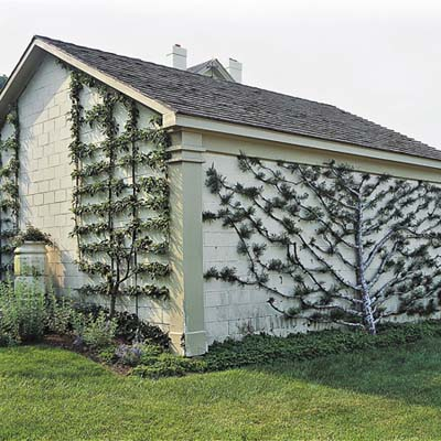 climbing plants include apple trees and a lacebark pine espaliered in geometric and fanlike shapes against walls