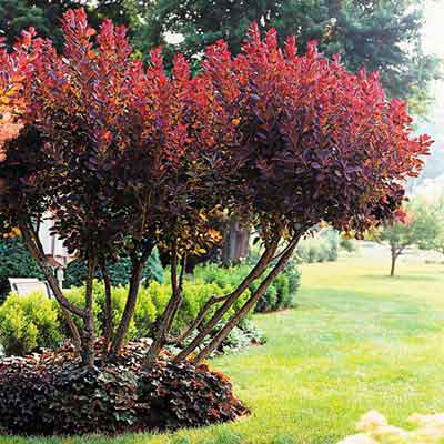 The burgundy hues in this multistemmed smoke bush and the coral bells around its base make for a stunning focal-point planting