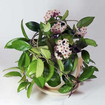 hindu rope houseplant with fragrant flowers