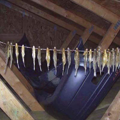 fish hanging in the attic