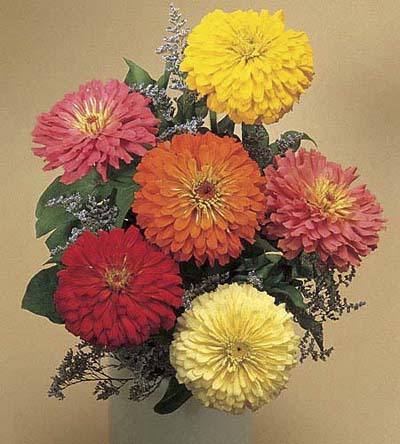Common Zinnia, drought resistant annuals