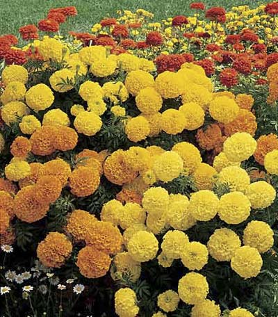 Marigold, drought resistant annuals