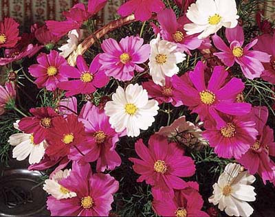 Cosmos, drought resistant annuals